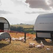 Free range broiler fully grown